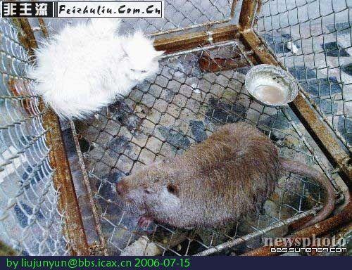 的粗毛.  当然 据说世界上最大的老鼠在法国的乡村发现的,体